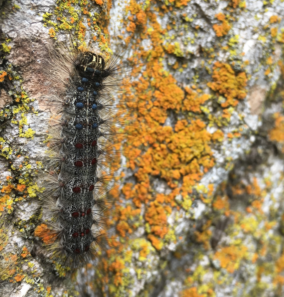 Gypsy moths have been found in one of Sauk County's neighbors and spraying will happen this month.The Wisconsin Department of Agriculture,...